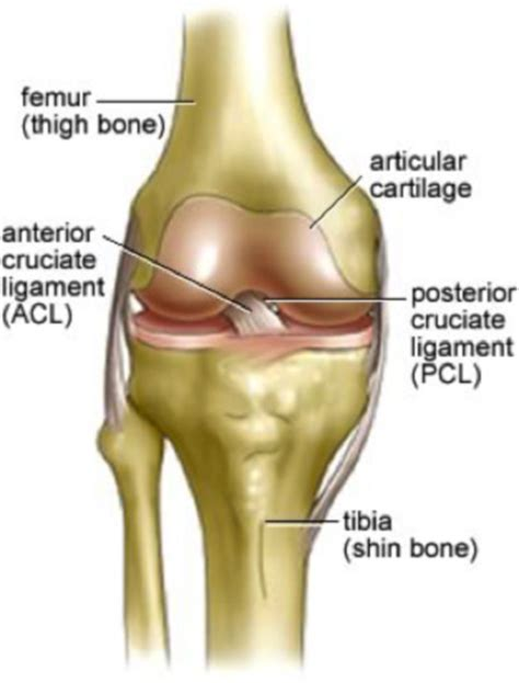 Anterior Cruciate Ligament Research Science topic